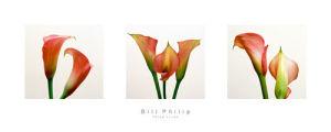 Three Lilies I by Bill Philip
