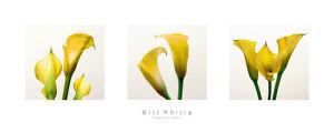 Three Lilies II by Bill Philip