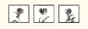 Three Tulips II by Bill Philip