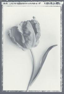Tulip Impression II by Bill Philip