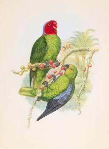 Geoffroyius Timoraoensis by William Hart
