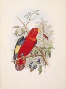 Lorius Tibialis by William Hart