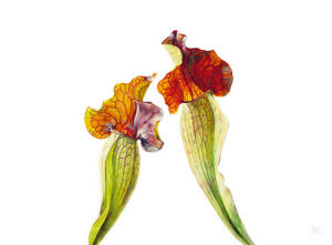 Pitcher Plants I by Rosie Sanders