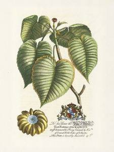The Duke Of Dorset Botanical by Georg Dionysus Ehret