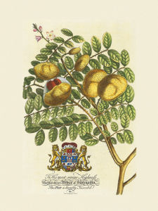 The Prince Saxegotha Botanical by Georg Dionysus Ehret
