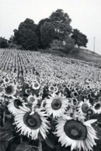 Sunflowers, France by Martine Franck