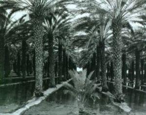 Palm Grove by Ansel Adams