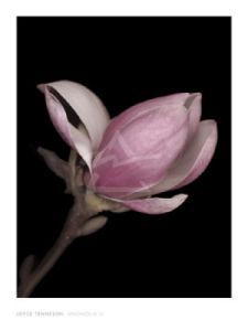 Magnolia II by Joyce Tenneson