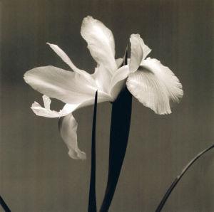 Iris III by Tom Artin