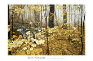 Autumn Maples by Ron Parker