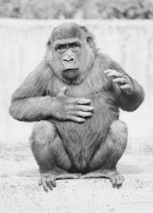 Gesticulating gorilla by Walter Sittig