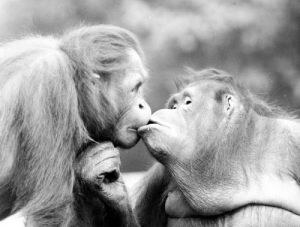Two kissing orangutans by Walter Sittig