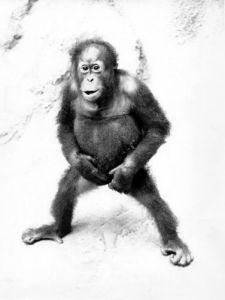Orangutan in a strange pose by Walter Sittig