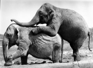 Two Elephants by Walter Sittig
