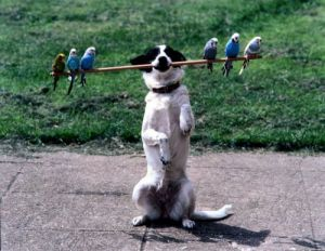Dog balancing budgies on a stick by John Drysdale