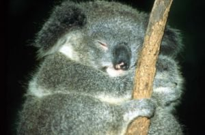 Sleeping koala by Roland Marske