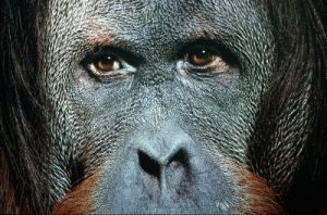 Close-up of an orangutan by Roland Marske