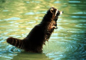 Raccoon in the water by Martin Rügner