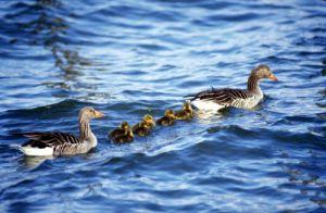 Ducks with ducklings by Gerd Pfeiffer