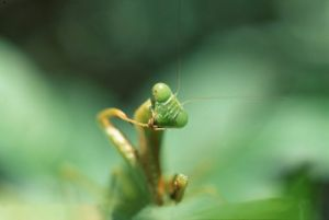 Green leaf mantis, Thailand by Heinz Krimmer