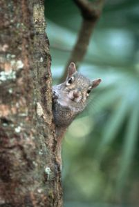 Grey squirrel peeks around a trunk by Koch & Wolf