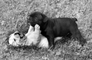 Puppies playing by Anonymous