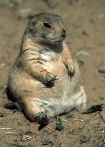 Fat groundhog by Regina Usher