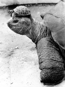 Turtle with a baby on her head by John Drysdale