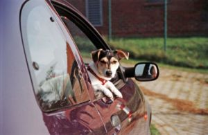 Jack Russell looking out of a car by Heinz Krimmer