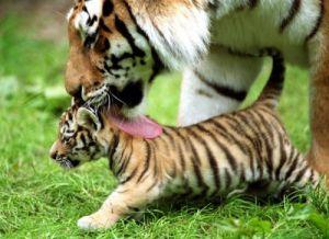 Tiger cub by Keystone