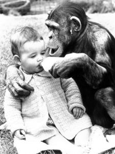 Chimp feeding a baby by John Drysdale