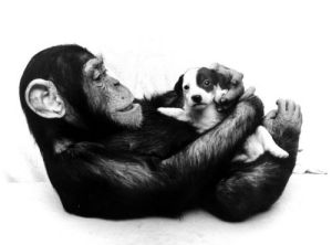 Chimp cuddling a puppy by John Drysdale