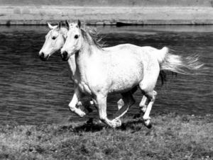 Two-headed horse by Walter Sittig