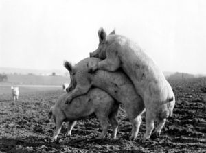 Climbing pigs by Anonymous