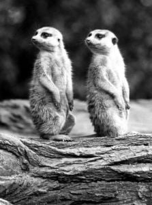 Two prairie dogs by Walter Sittig