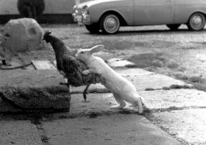 Rabbit chasing a hen by Dieter Kranefuß