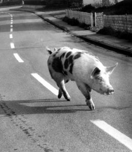 Pig strolling down the street by Walter Sittig