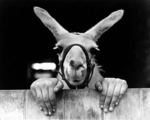 Alpaca with human hands by John Drysdale