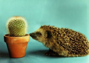 Hedgehog with a cactus by Horst Fenchel