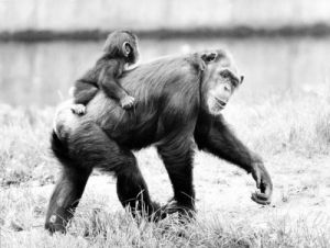 Baby chimp hitches a ride by Walter Sittig