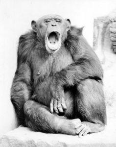 Yawning chimpanzee by Walter Sittig