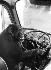 Chimpanzee at the steering wheel of a truck by Heinrich Von Der Becke