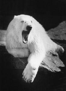 Yawning polar bear by Bernd Schellhammer