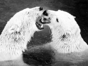 Polar bear inspecting another's tonsils by Walter Sittig