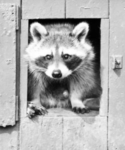Racoon in a little doorway by Walter Sittig