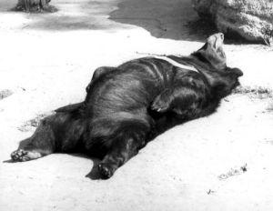 Black bear relaxing in the sun by Walter Sittig