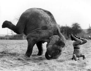 Elephant and man doing handstands by John Drysdale