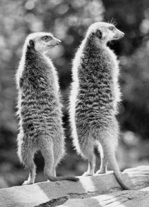Two meertkats by Walter Sittig