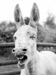 Donkey shows his teeth by Walter Sittig