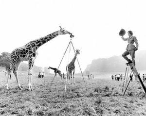 Giraffe photographing a park ranger by John Drysdale